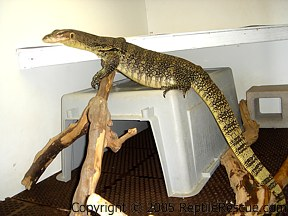 asian water monitor in cage