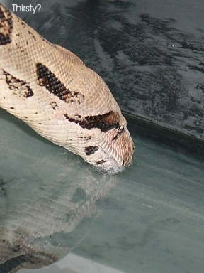 boa constrictor drinking water