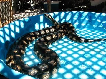 Burmese Python Getting Fresh Air And A Bath